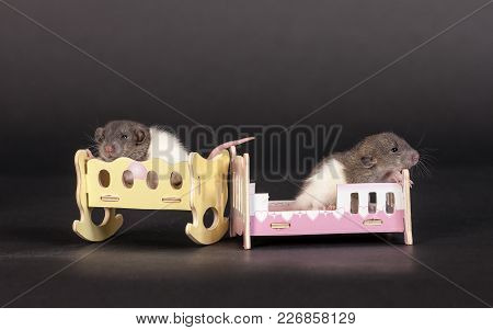 Two Baby Rats In A Toy Beds