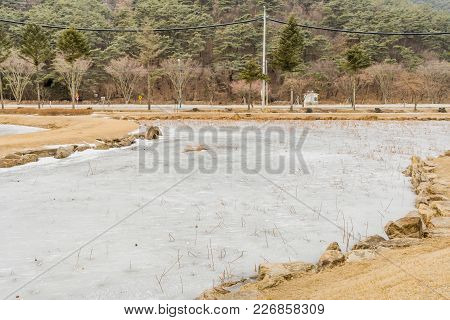 Winter Landscape Of Frozen Man Made Pond With Tall Reeds Sticking Through Ice  With Lush Evergreen F