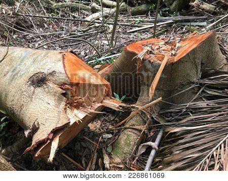 A fallen tree tree trunk chopped down in a tropical rainforest.