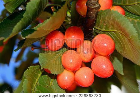 Cherries Ripening On A Tree In The Monchique Mountains, Monchique, Algarve, Portugal, Europe.