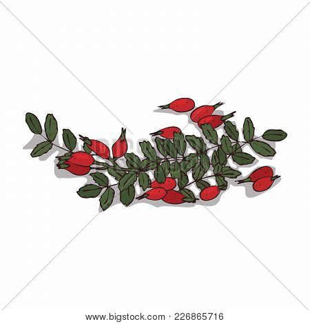 Isolated Clipart Of Plant Rose Hips On White Background. Botanical Drawing Of Herb Rosa With Fruits