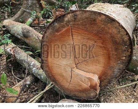 Cross section of tree trunk freshly cut from a tropical rainforest.