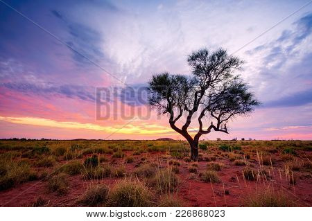 A Hakea Tree Stands Alone In The Australian Outback During Sunset. Pilbara Region, Western Australia