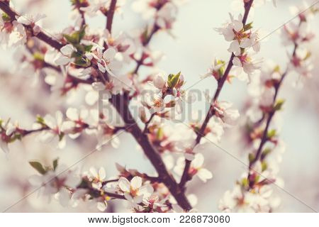 Flowers of the cherry blossoming in the spring garden