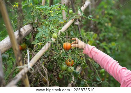 Little Girl Hands Picking Tomatoes In A Cultivated Land Field Closeup