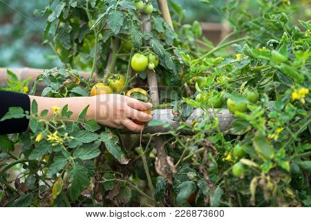 Woman Hands Picking Tomatoes In A Cultivated Land Field Closeup