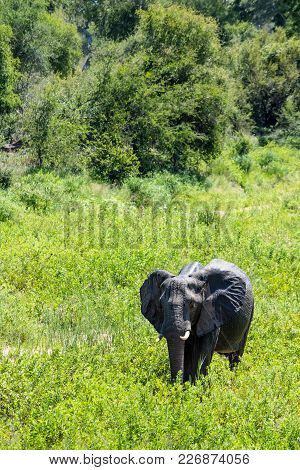 A Large Female Elephant Cow Went Wondering Through A Riverbed