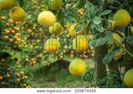Ripe And Green Pomelo Fruit Tree In The Garden.