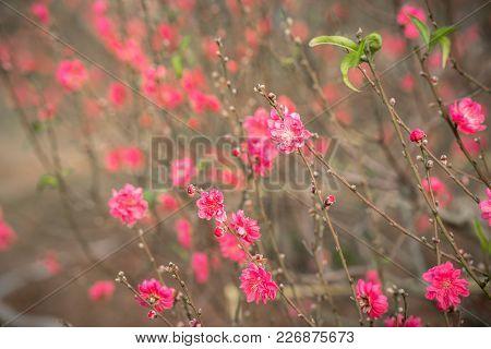 Peach Flowers, The Symbol Of Vietnamese Lunar New Year