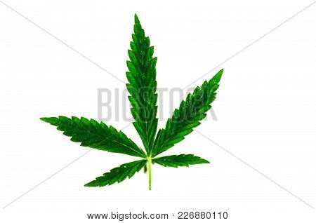 Leaf Of The Cannabis Plant Isolated On White Background