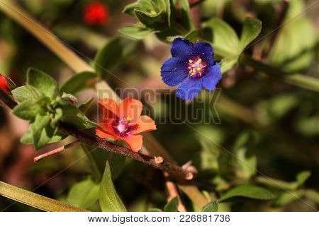 Red (scarlet) And Blue Pimpernel Flowers In Same Location. Majorca. Spain.