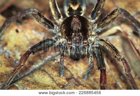 A Wandering Spider (family Ctenidae) Up Close At Night In Belize.