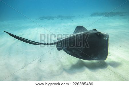 An Adult Southern Stingray (dasyatis Americana) Swimming Above A Sandy Ocean Floor In The Caribbean