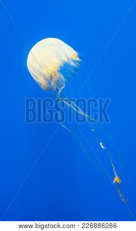 A Free-swimming Jellyfish Isolated Against A Blue Marine Background.