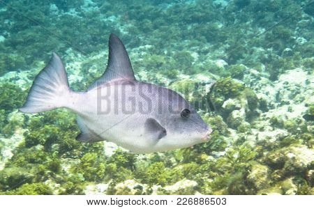 A Grey Triggerfish (balistes Capriscus) Swims Along The Coral Reef In The Carribean Sea. Corn Island