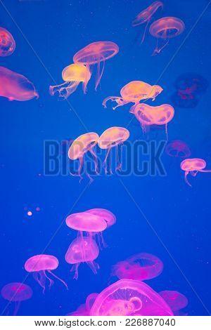 Small Jellyfish Artificially Illuminated In A Marine Aquarium.