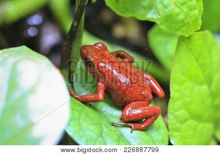 A strawberry poison dart frog (Dendrobates pumilio, aka Oophaga pumilio), on the forest floor in Talamanca, Costa Rica. poster