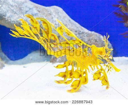 Endemic To The Waters Off South And East Australia, Leafy Sea Dragons Are Closely Related To Seahors