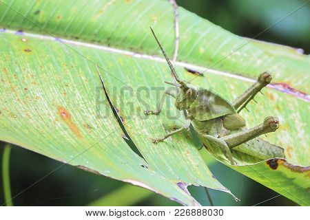 A Long Horned Grasshopper On A Banana Leaf In Costa Rica.