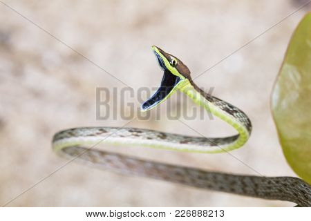 A Brown Vine Snake (oxybelis Aeneus) In A Defensive Display In Costa Rica.