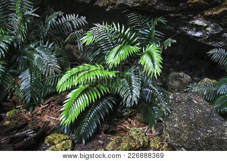 A Very Rare Cycad Plant (zamia Decumbens) In A Very Remote Cave In Southern Belize. Fewer Than 1000