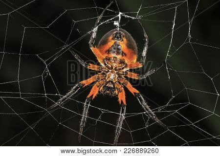 A Tropical Red And Black Orb-weaving Spider (eriophora Fuliginea) On Its Web In Talamanca, Costa Ric