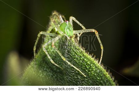A Green Lynx Spider (peucetia Viridans) On A Leaf At Night In Belize.