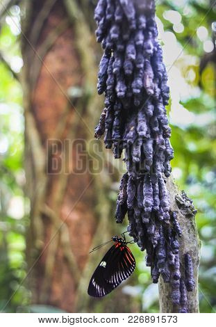 A Doris Longwing Butterfly (laparus Doris) Just After Emerging From Its Chrysalis. Cahuita National