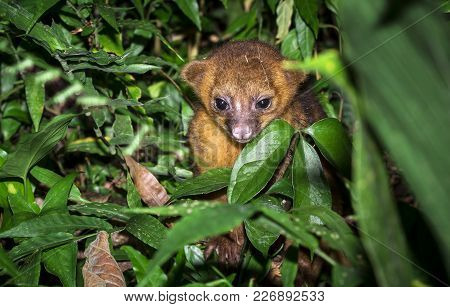 A Young Kinkajou (potos Flavus) In The Jungle In Belize.