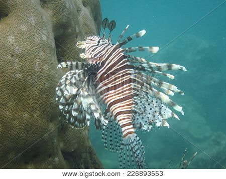 A Lionfish (pterois Sp.) Swims Among The Coral Reef On The Caribbean Coast Of Costa Rica.