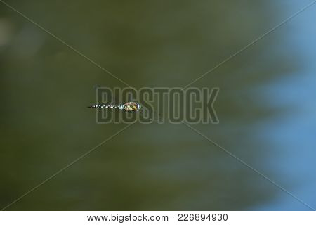 Photo Of A Blue Hawker Dragon Fly Hovering Over Water