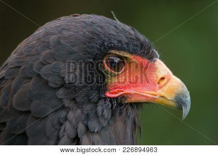 Photo Portrait Of A Beautiful Bateleur Eagle