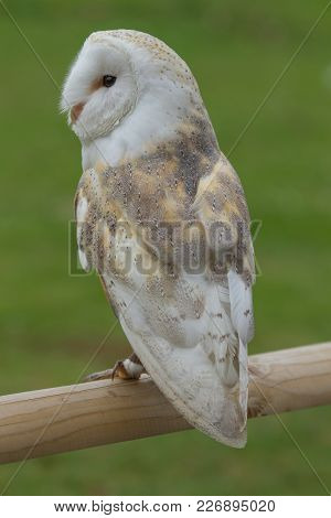Photo Of A Beautiful Barn Owl Standing On A Wooden Rail
