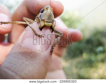 A Brown Grasshopper In Man's Pockets. The Jaws Of A Grasshopper.