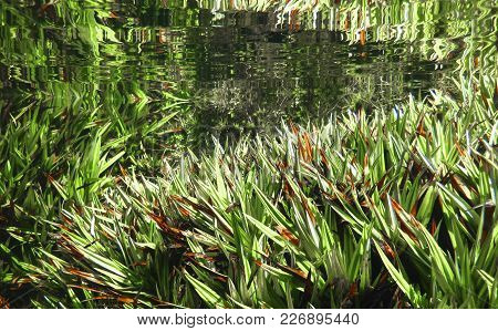 Aquatic Grasses As Seen Underwater In The Walls Of Jerusalem National Park, Tasmania.