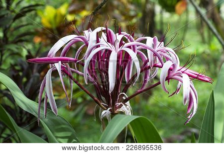 A Large Spider Lily (crinum Sp.) Growing In The Jungle In Costa Rica.