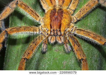A Brazilian Wandering Spider (phoneutria Sp.) Waits In Ambush On A Leaf At Night In Costa Rica.