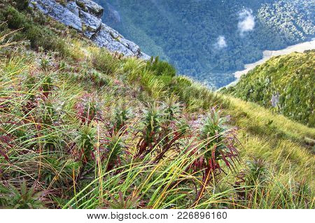 A Group Of Spreading Grass Tree (aka Pineapple Shrub, Dracophyllum Menziesii) On A Mountain Slope In