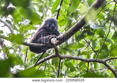 A Young Mantled Howler Monkey (alouatta Palliata) Sitting In A Tree In Tortuguero National Park, Cos
