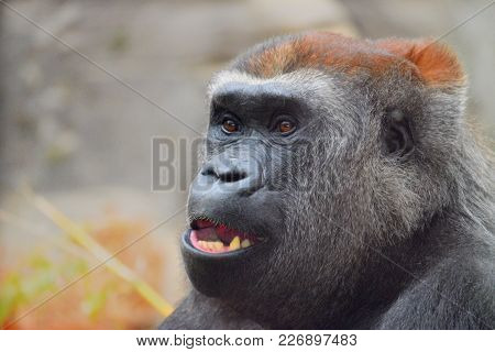 Portrait Of A Gorilla, Bust Color, With A Look To The Front And Semi-open Mouth. You Can See The Red