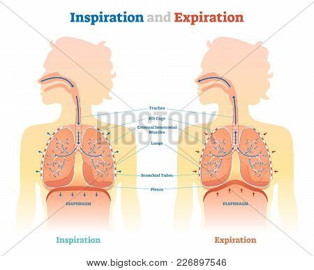 Inspiration And Expiration Anatomical Vector Illustration Diagram, Educational Medical Scheme With L