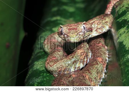 An Eyelash Viper (bothriechis Schlegelii) Takes A Defensive Posture. Photographed At Night In Tortug