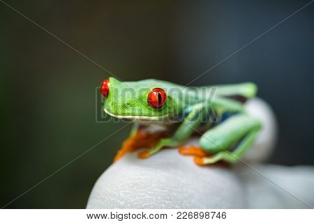 A Red Eyed Treefrog (agalychnis Callidryas) Sits On The Gloved Hand Of A Scientist During A Wildlife