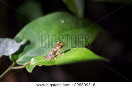 A Young Olive-snouted Treefrog (scinax Elaeochrous) Sits On A Sunlit Leaf In The Dark Jungle. Tortug