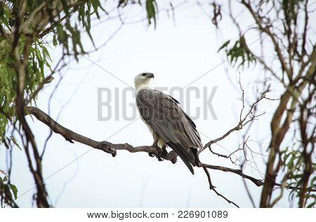 A White-bellied Sea Eagle (haliaeetus Leucogaster) Perched On A Branch In Tasmania, Australia.
