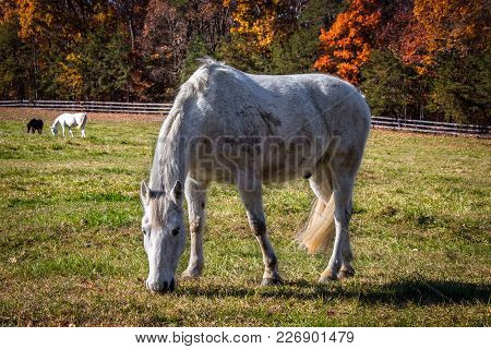 Horses Grazing In A Virginia Field With Autumn Colors In The Background.