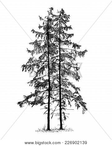 Cartoon Vector Doodle Drawing Illustration Of Two Old Spruce Conifer Or Coniferous Tree Or Trees.