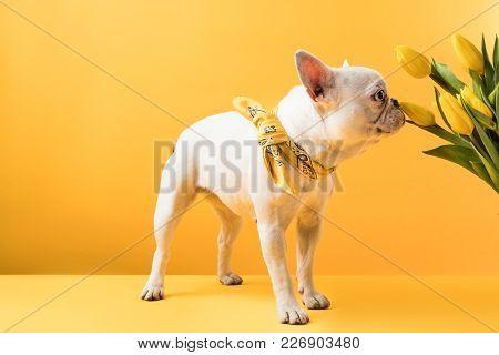French Bulldog Sniffing Beautiful Yellow Tulip Flowers On Yellow