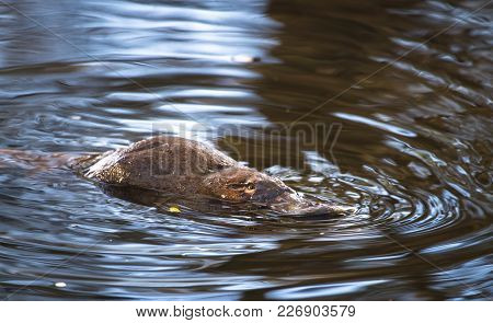A Duck-billed Platypus (ornithorhynchus Anatinus) Swims In The Tyenna River In Mt. Field National Pa