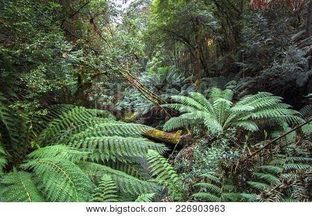 Dense Vegetation Including Large Tree Ferns Fills The Rainforest Of Mt. Field National Park, Tasmani